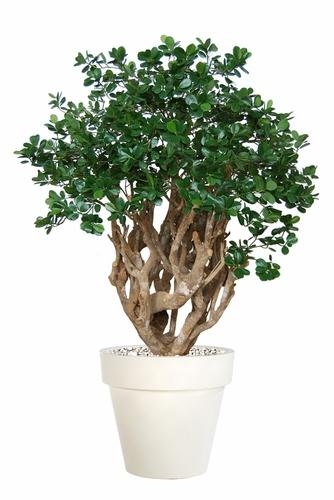 Ficus Panda Robusta